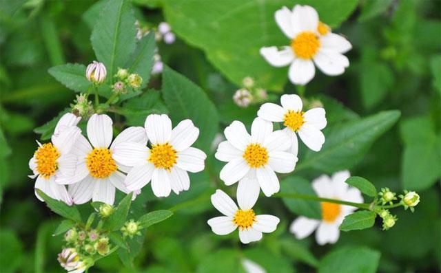 các loại hoa cúc trắng nhỏ: hoa xuyến chi