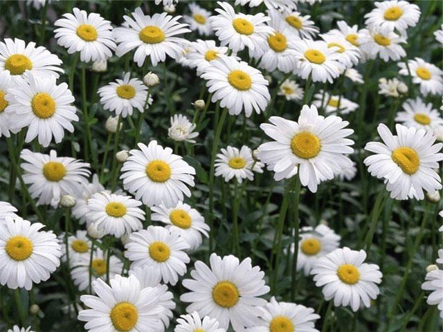 các loại hoa cúc trắng nhỏ: hoa cúc chi trắng