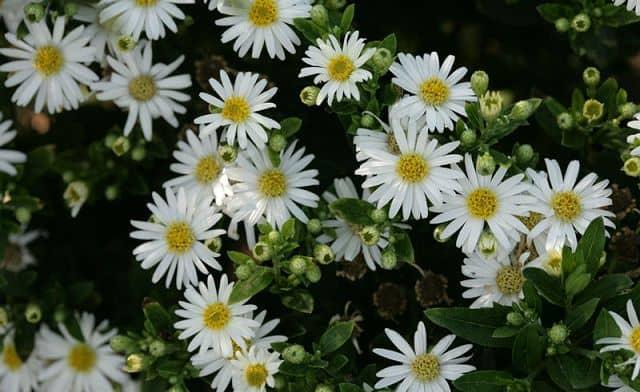 Các loại hoa cúc trắng nhỏ: hoa thạch thảo trắng