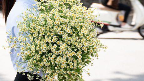 Ý nghĩa hoa cúc tana trong tình yêu