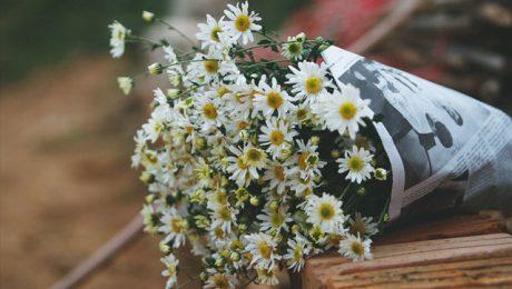 Ý nghĩa các loài hoa cúc trắng trong tình yêu: hoa cúc họa mi