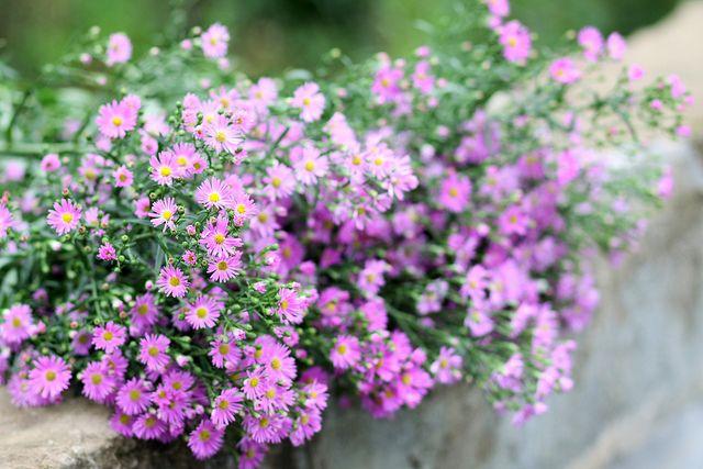 Ý nghĩa hoa thạch thảo tím