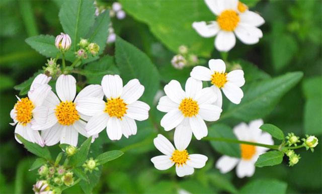 Ý nghĩa các loài hoa cúc trắng trong tình yêu: hoa xuyến chi