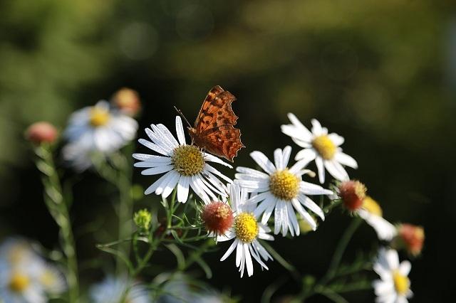 ý nghĩa của hoa cúc trắng trong tình yêu