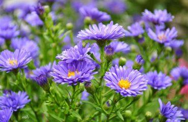 ý nghĩa hoa thạch thảo trong cuộc sống