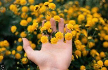 các loại hoa cúc vàng nhỏ cúc chi