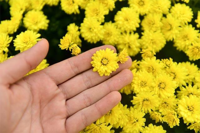 các loại hoa cúc vàng nhỏ cúc mâm xôi