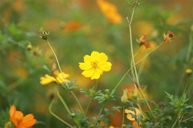 các loại hoa cúc vàng nhỏ xuyến chi