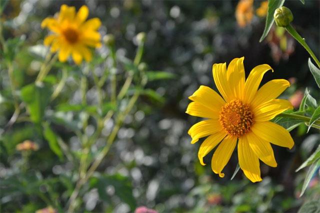 các loại hoa cúc vàng nhỏ hoa dã quỳ