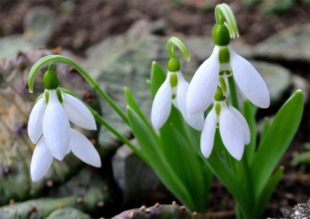 6 loài hoa tượng trưng cho sự hi vọng - hình ảnh 4