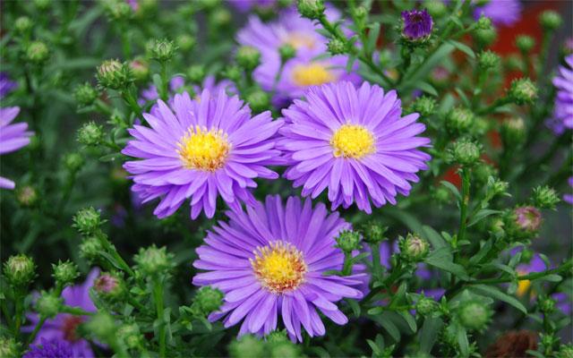10 loài hoa dại màu tím đẹp hút hồn trong tự nhiên