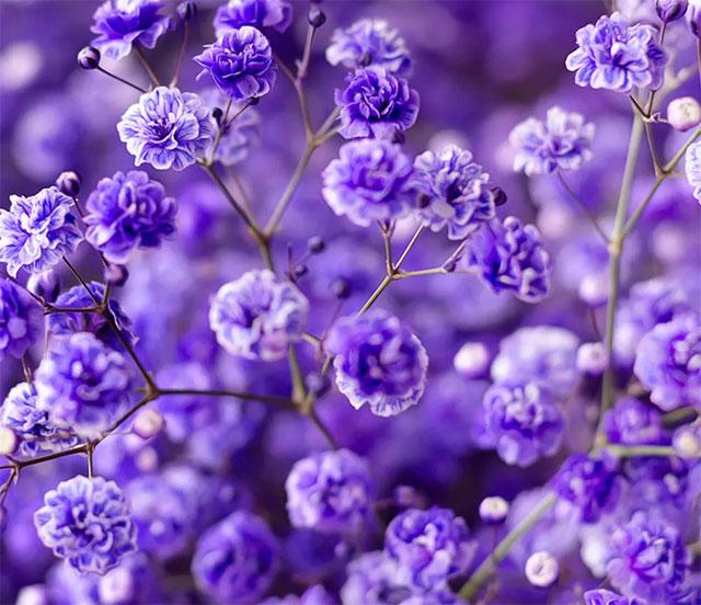 ý nghĩa hoa baby tím