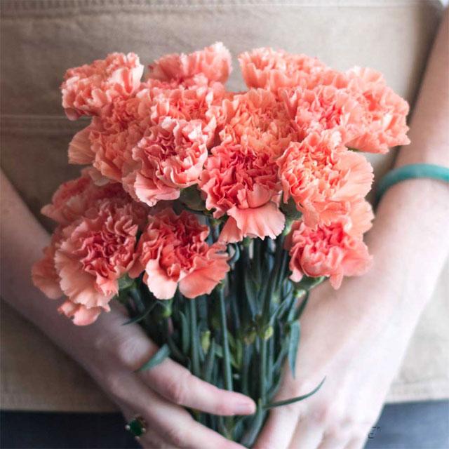 y nghia cua hoa cam chuong 1 - Ý nghĩa của hoa cẩm chướng