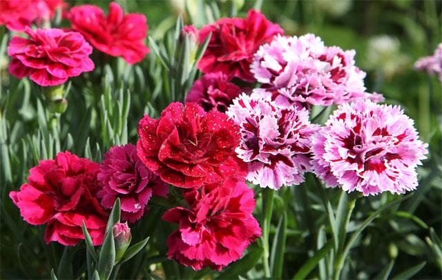 y nghia cua hoa cam chuong 2 - Ý nghĩa của hoa cẩm chướng